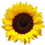 Sunflower-Wellness