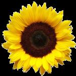 Sunflower-Wellness