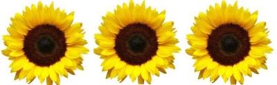 tumblr_static_tumblr_static_sunflower_for_tumblr